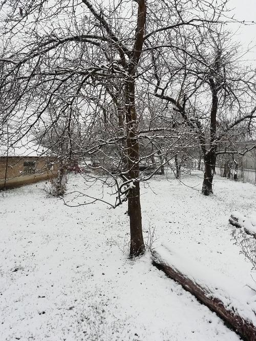 Stabla na kojima je snijeg.